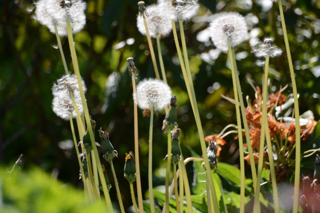 Dandelions in breeze
